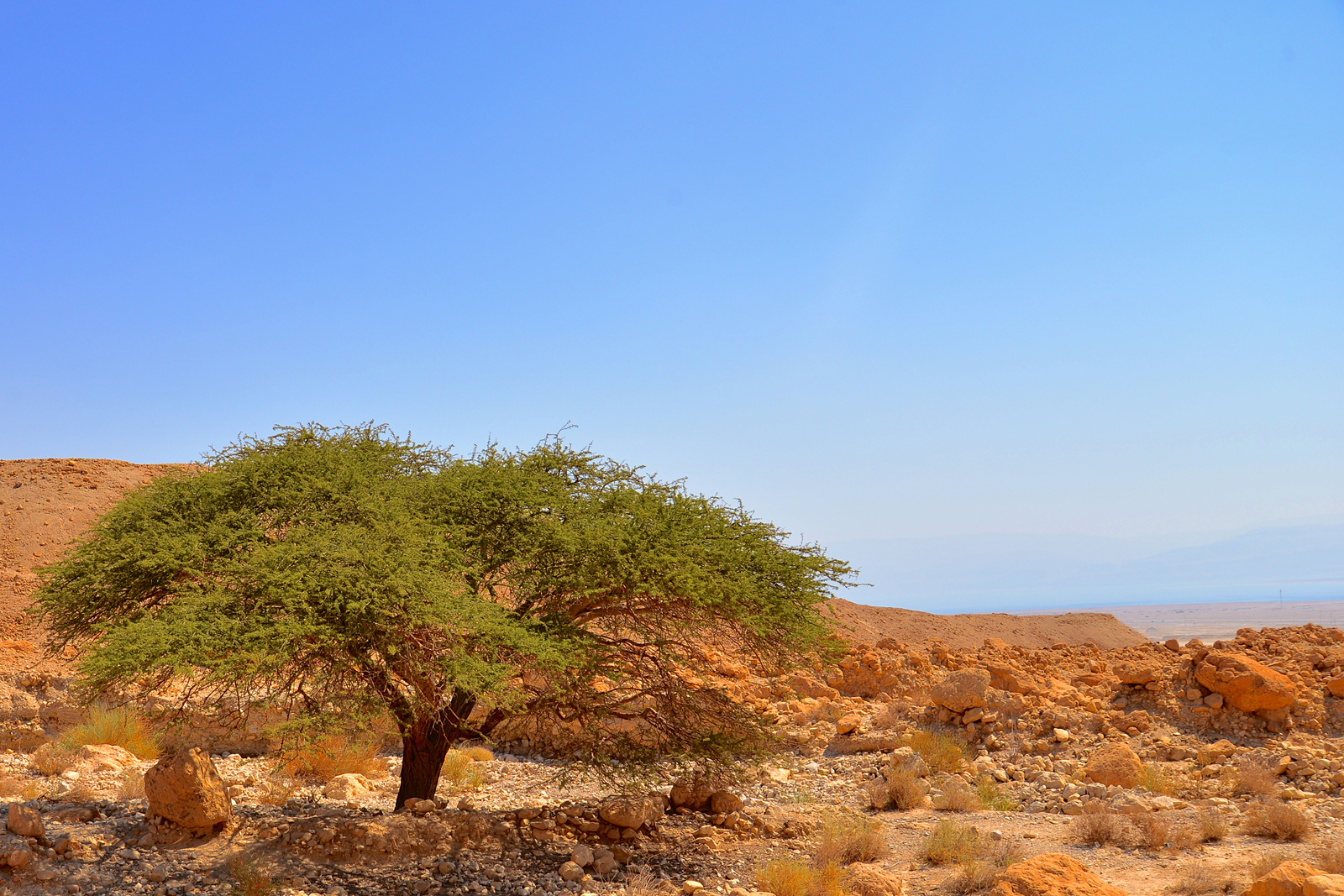 An Acacia tree outside the base of the Masada.